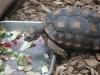 Waldschildkröte