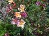 ...mit wunderschönen Rosen