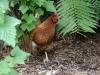 Hühner laufen hier frei herum