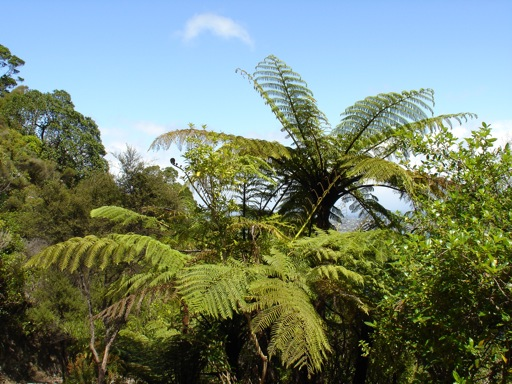 Symbol Neuseelands, der Silberfarn