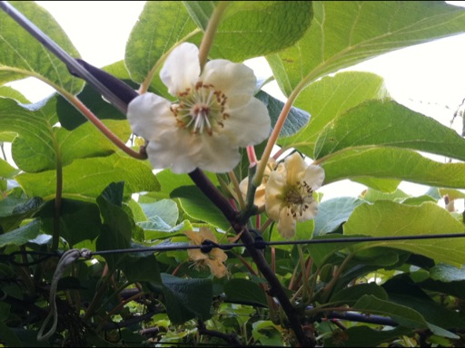die Blüte der Kiwi