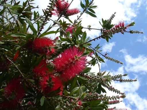 Callistemon citrinus oder auch Flaschenbürstenbaum kommt eigentlich aus Australien