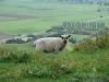 Schafe wohin man blickt