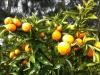 in den Orchards wachsen neben Kiwis und Avocados auch Mandarinen