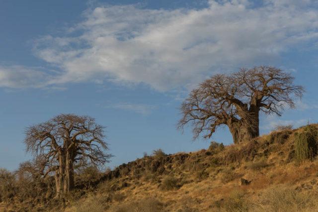 Affenbrotbaum - Baobab