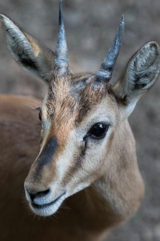 Chinkara (Gazella gazella)