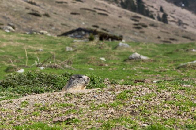 Murmeltier auf dem Plateau du Lienz
