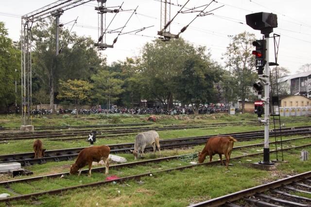fressende Kühe im Gleis