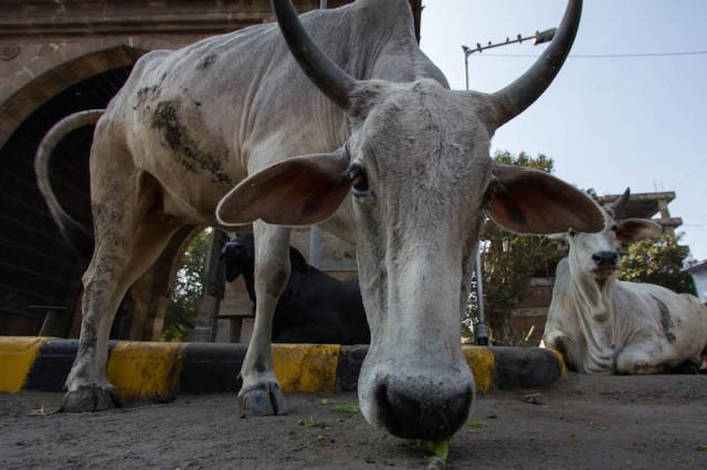 Kuh vor dem Prem Darwaja