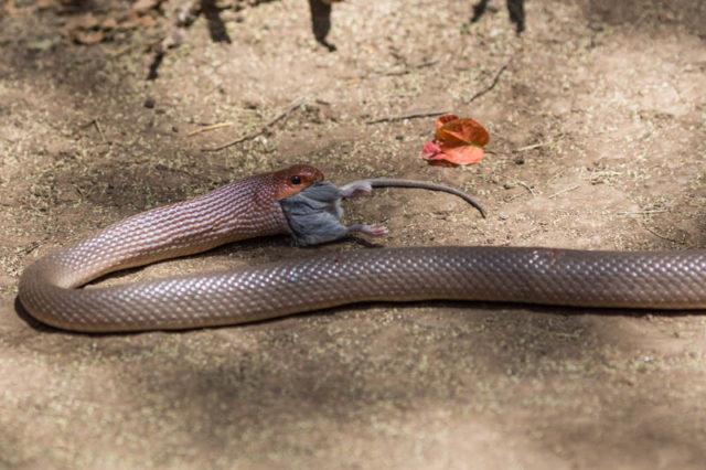 Red Spotted Beaked Snakes (Rhamphiophis rubropunctatus) erbeutete eine Maus