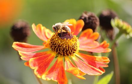 Biene auf orangener Blüte